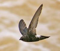 House Swift » Apus affinis