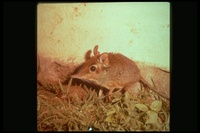 : Elephantulus sp.; Elephant Shrew