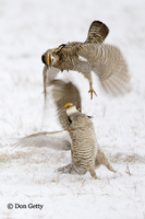 : Tympanuchus cupido; Greater Prairie Chicken