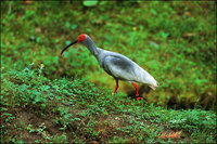 Crested Ibis (Courtesy WWF)