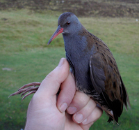 Water Rail Photograph by Mark Breaks