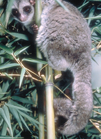 Greater dwarf lemur (Cheirogaleus major)