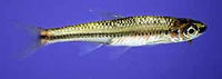 Notropis melanostomus, Blackmouth shiner: