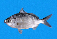 Eucinostomus entomelas, Dark-spot mojarra: fisheries, bait