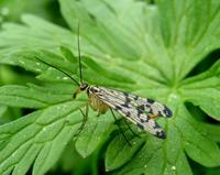 Panorpa communis - Scorpion Fly