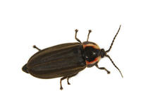 Image of: Lampyridae (fireflies and lightningbugs)