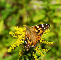 Image of: Vanessa cardui (painted lady butterfly)