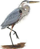 Image of: Ardea herodias (great blue heron)