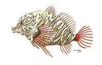 Image of: Rhamphocottus richardsoni (grunt sculpin)