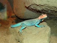Agama agama - Red-headed Agama