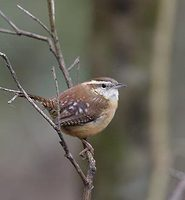 Carolina Wren (Thryothorus ludovicianus) photo