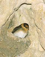 Cave Swallow (Petrochelidon fulva) photo