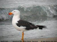Pacific Gull - Larus pacificus