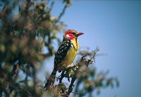 Red-and-yellow Barbet - Trachyphonus erythrocephalus