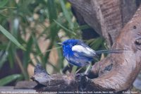 White-winged Fairywren - Malurus leucopterus