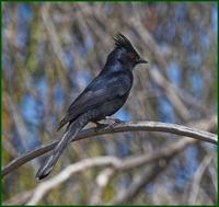 Phainopepla at Organ Pipe National Monument