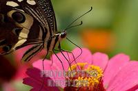 Citrus swallowtail nectaring stock photo