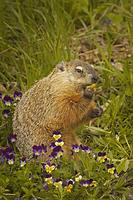 ...Groundhog or Woodchuck ( Marmota monax ) , Mother and babies , feeding on spring flowers , Kettl