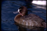 : Aythya marila; Greater Scaup