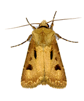 Agrotis exclamationis - Heart & Dart