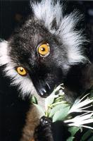 photograph of black lemur: Lemur macao