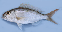 Pristipomoides typus, Sharptooth jobfish: fisheries