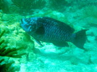 Scarus coelestinus, Midnight parrotfish: fisheries, aquarium