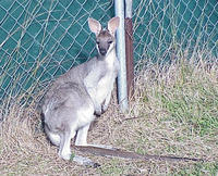Image of: Macropus parryi (whiptail wallaby)