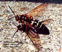Image of: Sphecius speciosus (cicada killer)