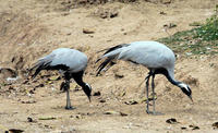 Image of: Anthropoides virgo (demoiselle crane)