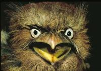 Image of: Batrachostomus septimus (Philippine frogmouth)