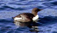 Image of: Uria aalge (guillemot;common murre)