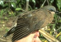 White-eared Brown Dove - Phapitreron leucotis