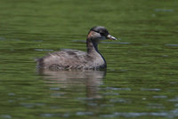 Madagascar Little Grebe (Tachybaptus pelzelnii) photo