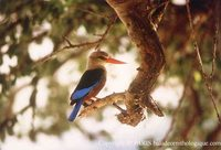 Gray-headed Kingfisher - Halcyon leucocephala