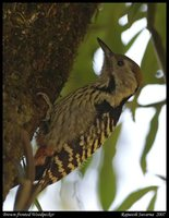 Brown-fronted Woodpecker - Dendrocopos auriceps