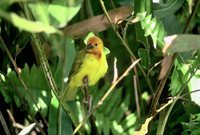 Golden Palm Weaver - Ploceus bojeri