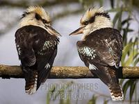 Laughing Kookaburras , Marwell Zoo , Hampshire , England stock photo