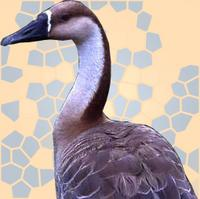 ...The swan goose (Anser cygnoides) is a large goose that breeds primarily in Mongolia and eastern