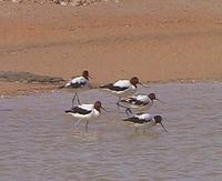 Red-necked Avocets