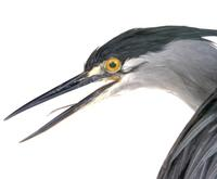 검은댕기해오라기  Green-backed Heron | Butorides striatus