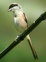 긴꼬리때까치 Lanius schach | long-tailed shrike
