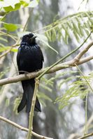 Hair-Crested Drongo 髮冠卷尾