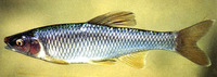 Cyprinella whipplei, Steelcolor shiner: