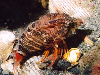 Rhamphocottus richardsonii, Grunt sculpin: aquarium