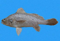 Stellifer ericymba, Hollow stardrum: