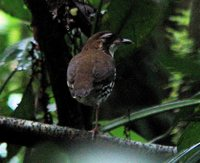 Striated Antthrush - Chamaeza nobilis