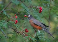 American Robin in the fall berries during migration.