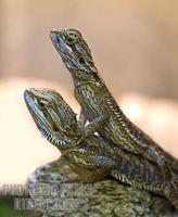 Pair of Juvenile Bearded Dragons stock photo