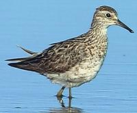 Sharp-tailed Sandpiper